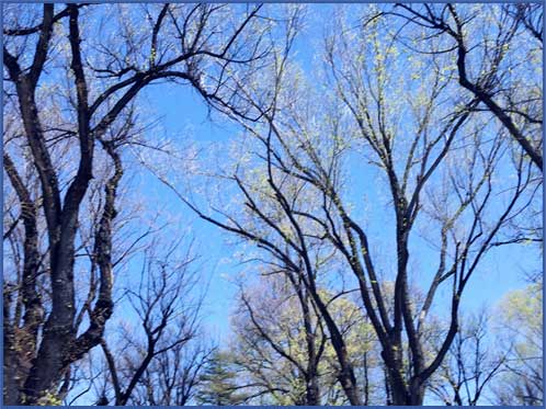 Trees in downtown Prescott AZ. April 2016 Sheila Delgado