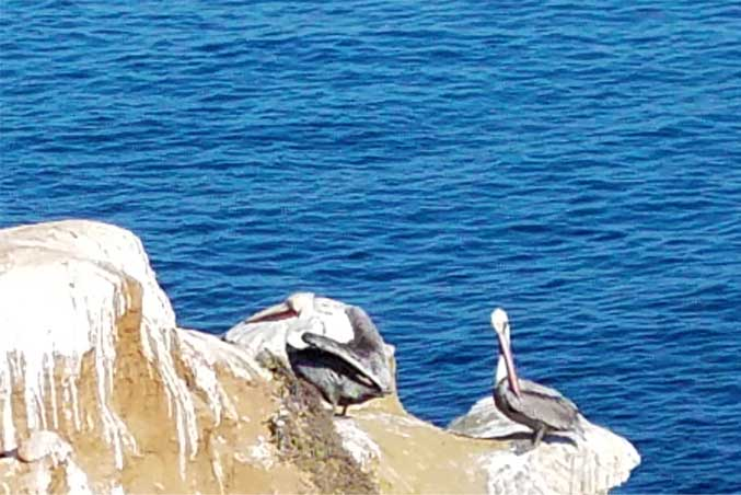 California Brown Pelicans. La Jolla, CA. SMD 2018