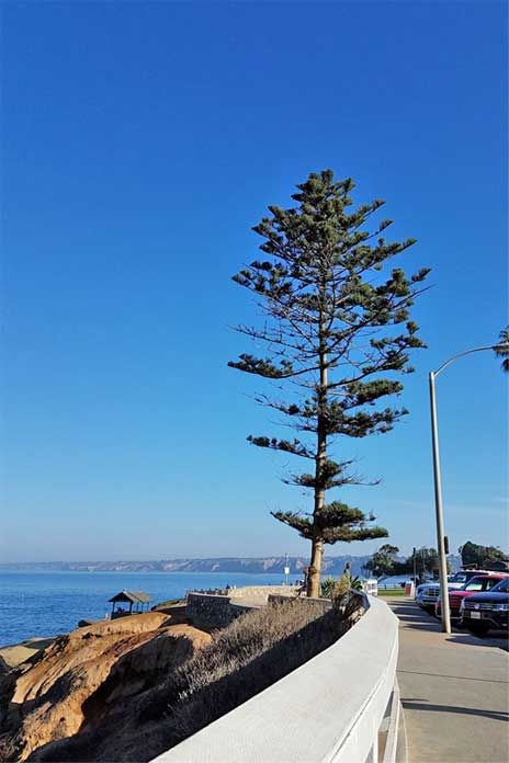 Tree to paint. La Jolla CA. SMD 2018
